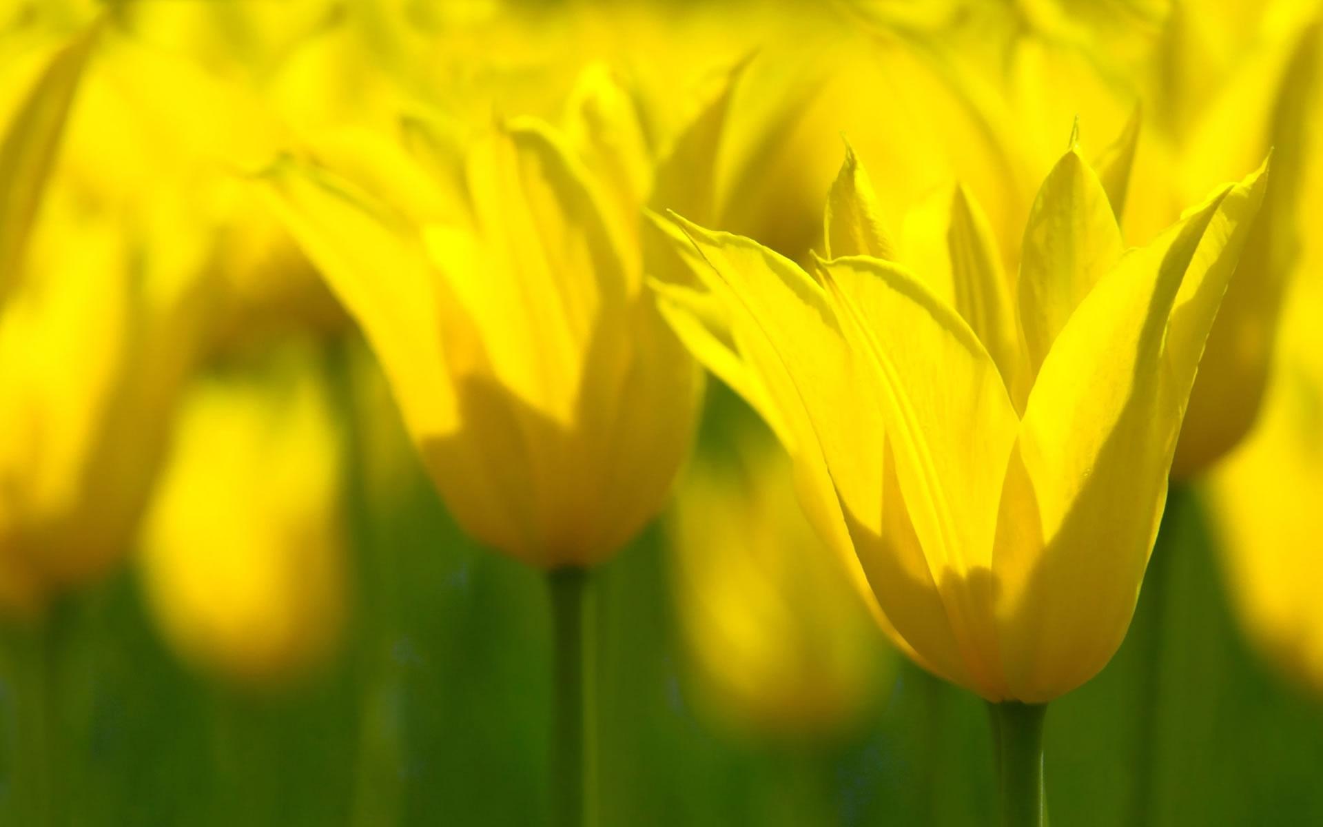 Fondo de Flores Amarillas