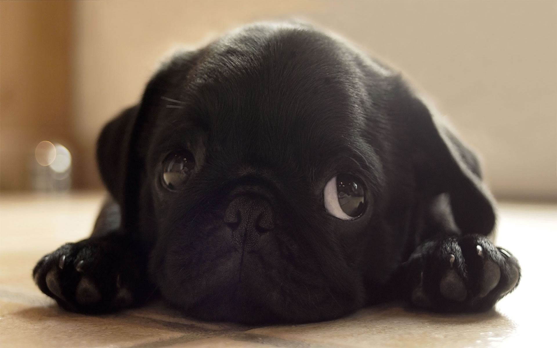 Download Pug Dog Hd Wallpaper Gallery: Wallpapers