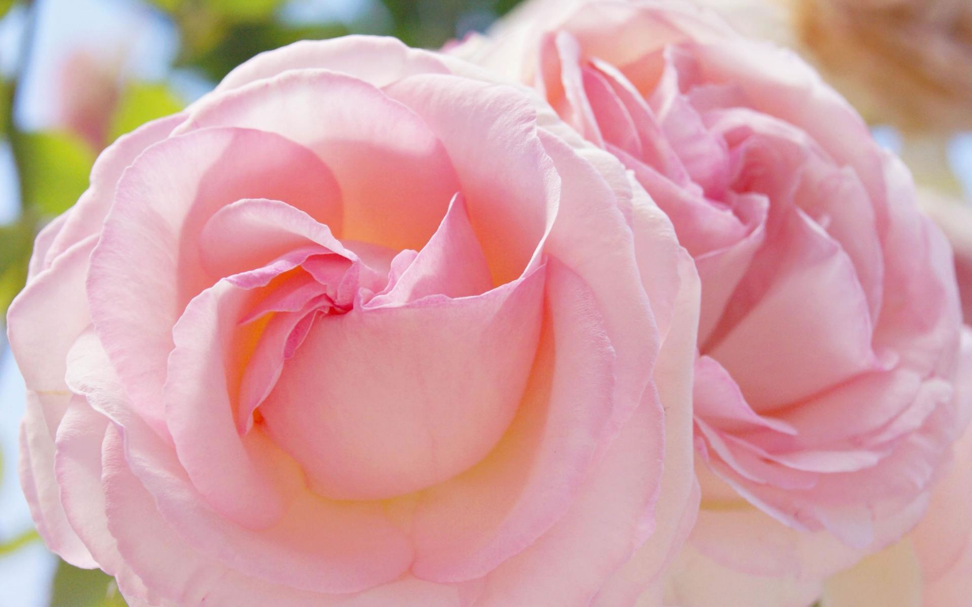 Dos Rosas Wallpaper