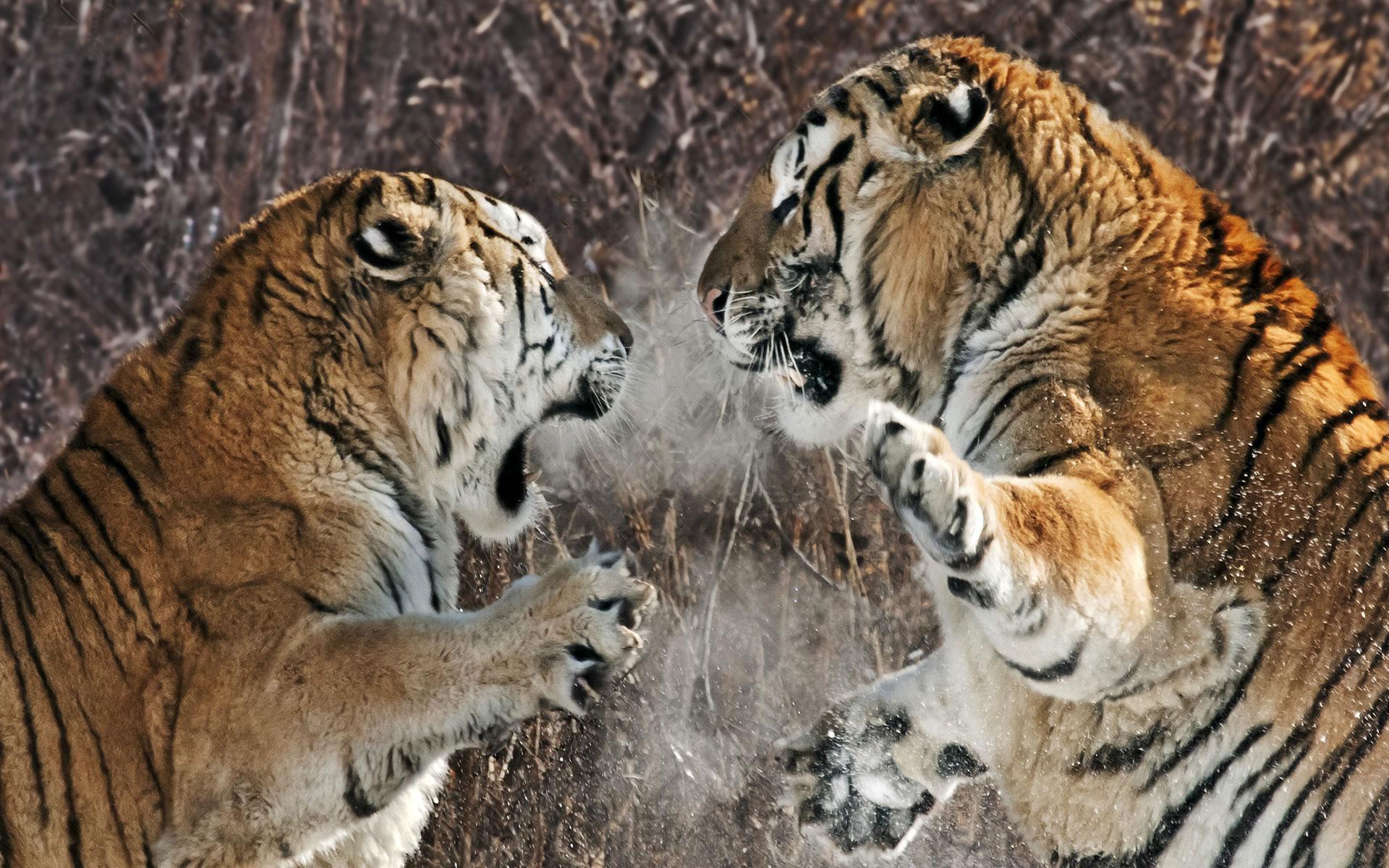 Lucha entre tigres