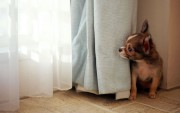 Mascota canina detrás de las Cortinas