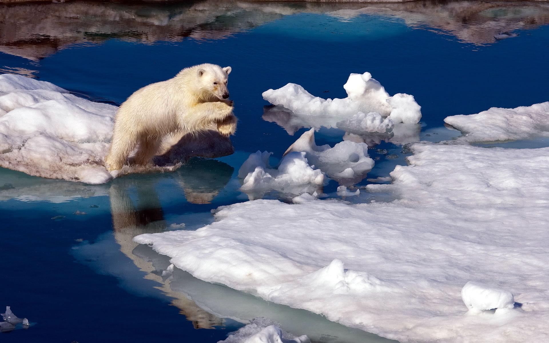 Oso Polar en problemas