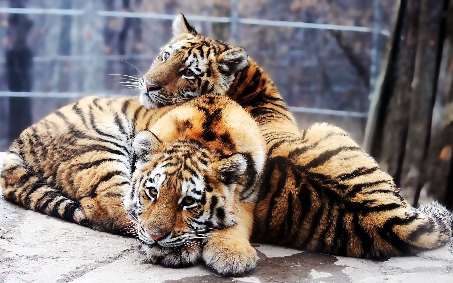Tigres Enamorados