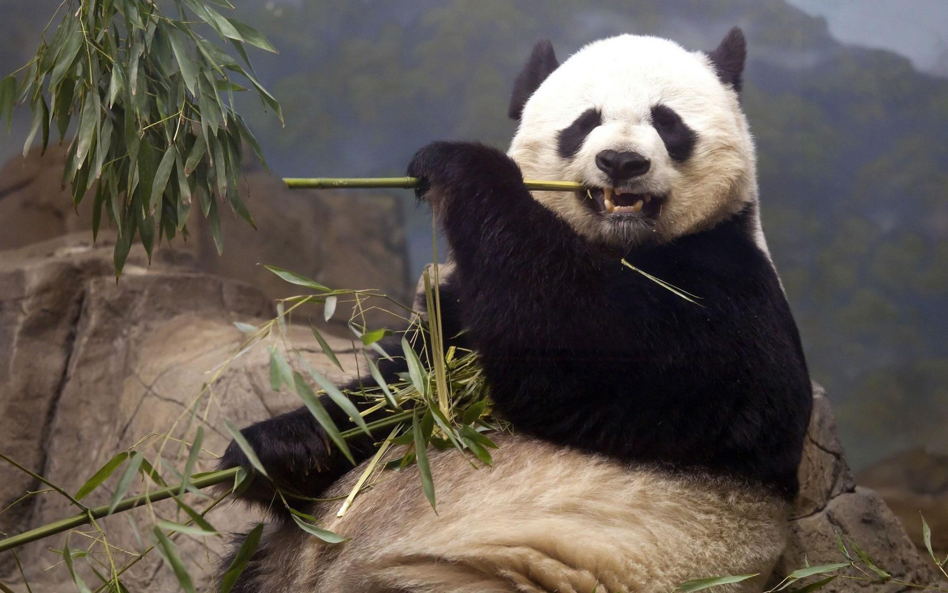 Oso Panda Wallpaper.