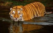 Tigre en el Agua.
