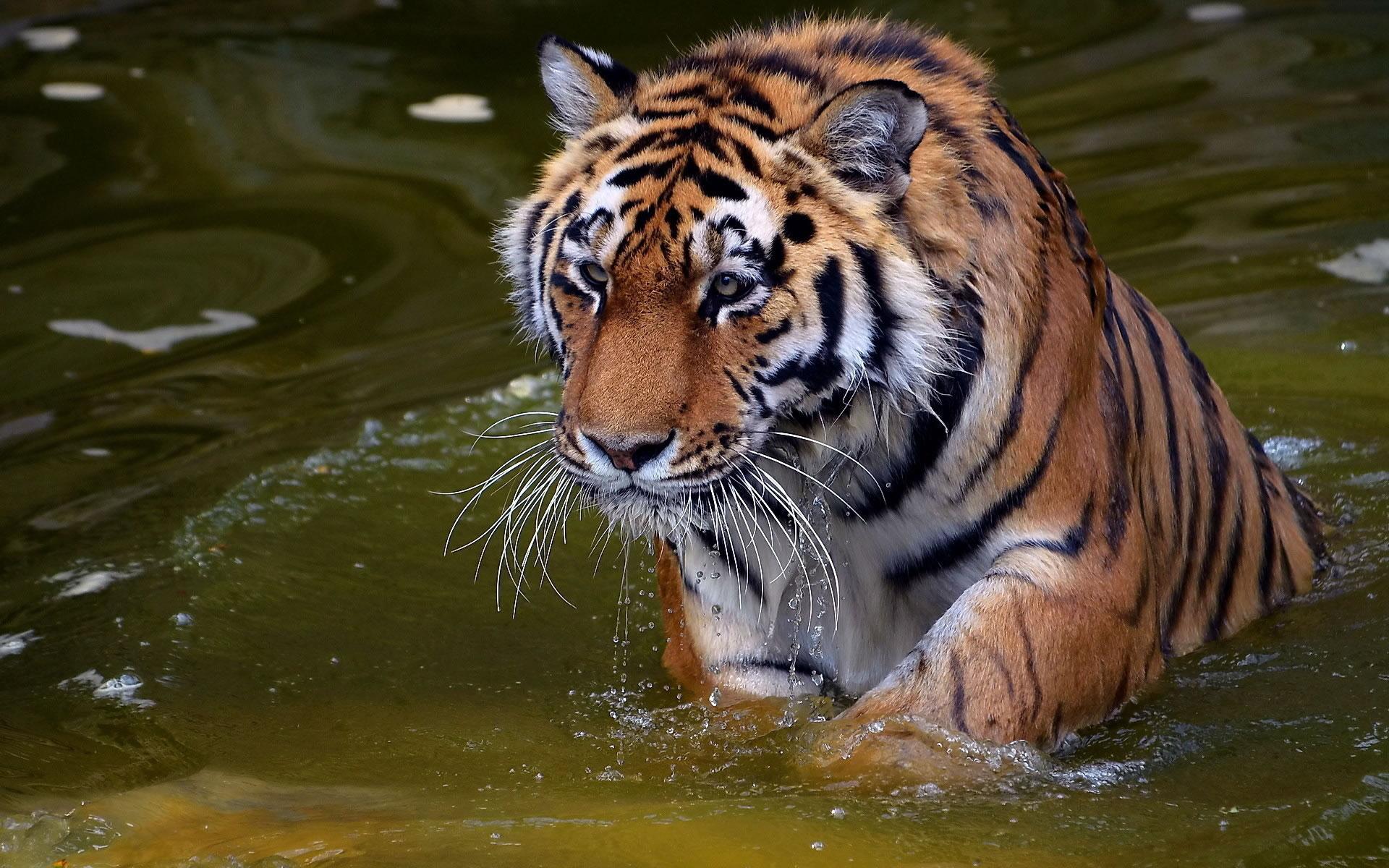 Tigre saliendo del agua.