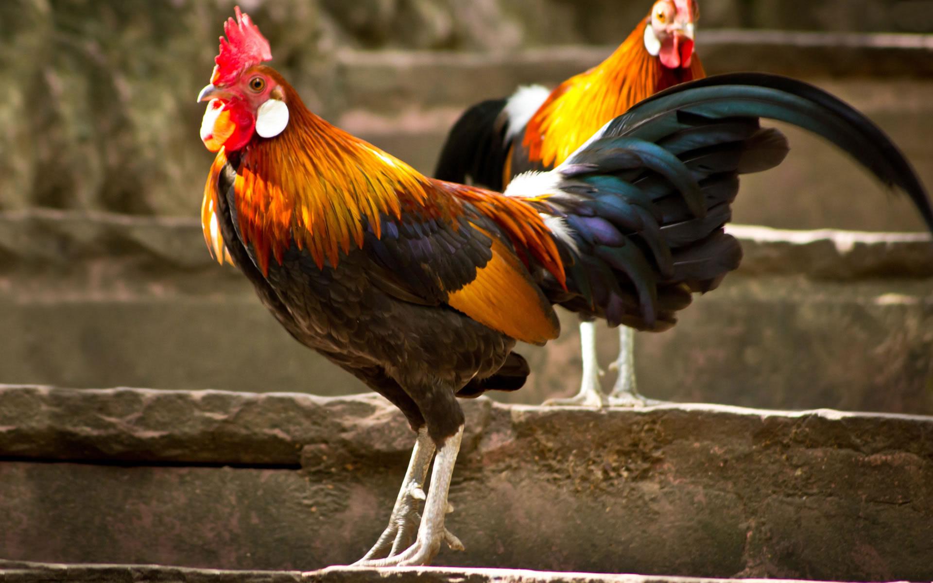 Los viejos chupan fotos de gallos