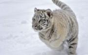 Bebé Tigre Blanco en la Nieve.