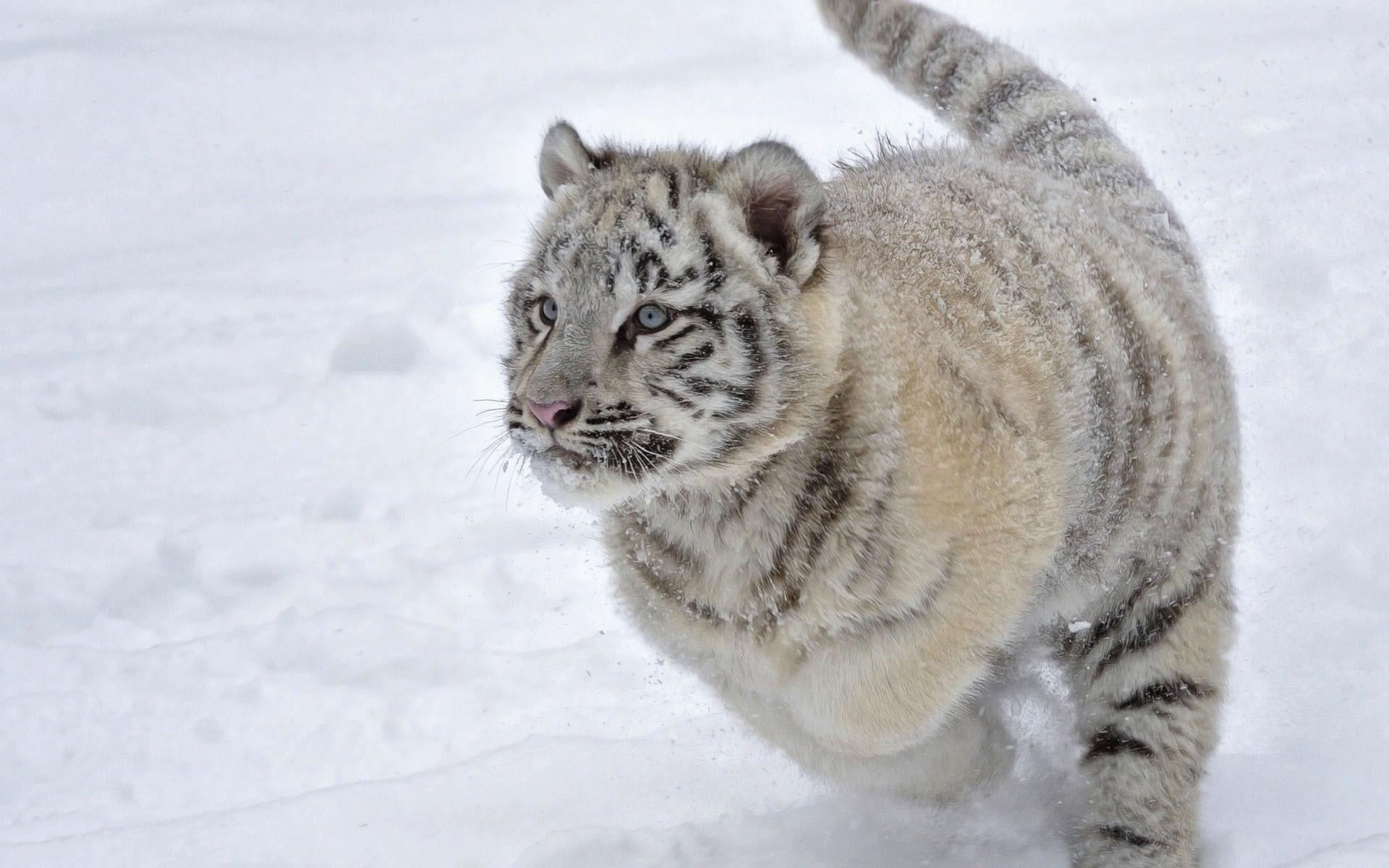 Bebé Tigre Blanco en la Nieve