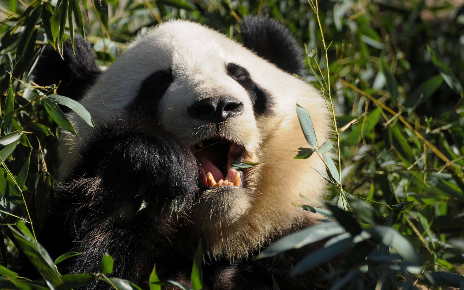 Oso Panda para móvil