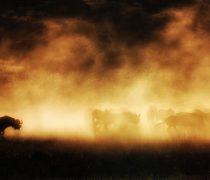 Búfalos en estampida