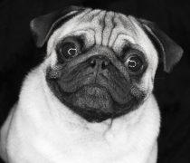 Bulldog en Blanco y Negro