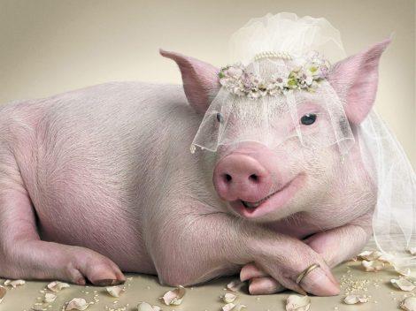 Cerdita a punto de casarse