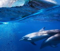 Delfines en el Océano.