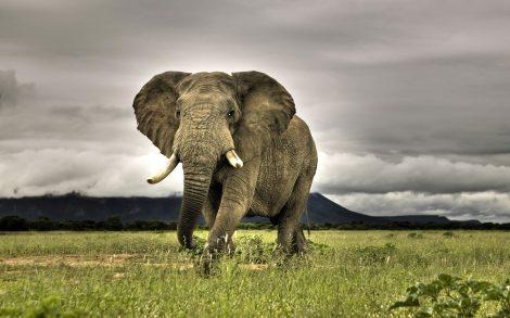 Elefante mirándote de frente.