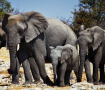 Famila elefante.