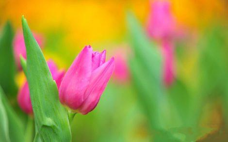 Fondo de Tulipanes