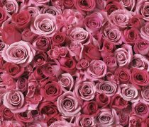 Fondos Románticos Rosas.