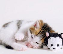 Gatito con su peluche.