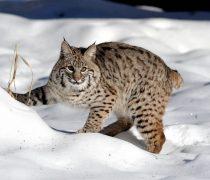 Gato Salvaje en la Nieve