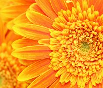 Girasoles Amarillos Wallpaper