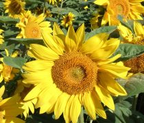Girasoles Wallpaper