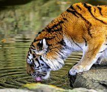 Imagen de Tigre Bebiendo.