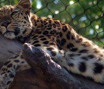 Leopardo en Árbol