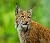 Lince. Wallpaper de Animales