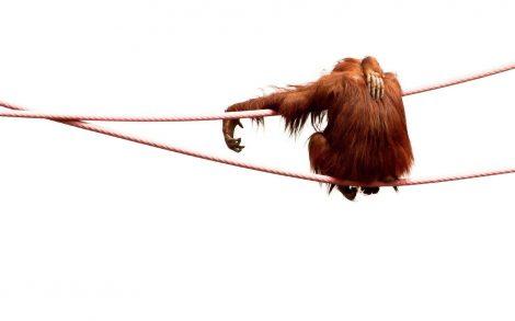 Orangután en mi pantalla