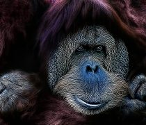 Orangután. Wallpapers Animales.