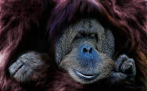 Orangután. Wallpapers Animales.