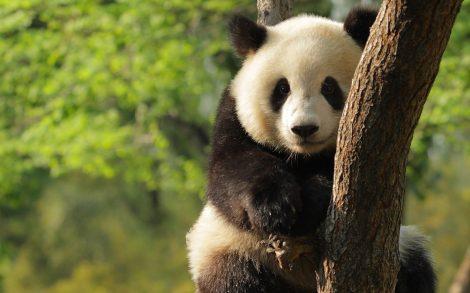 Osito Panda.