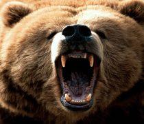 Oso Grizzly Rugiendo