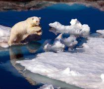 Oso Polar en problemas.