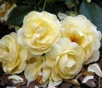 Rosas Blancas. Wallpapers de Flores