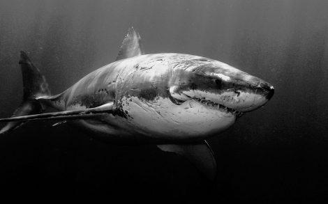 Tiburón al Acecho.