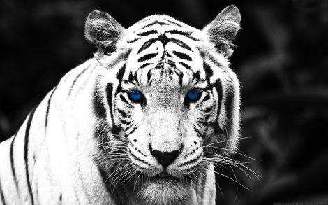 Tigre con Ojos Azules