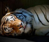 Tigre Dormido