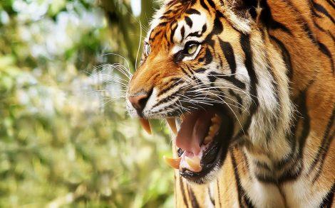 Tigre Wallpaper