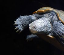 Tortuga Nadando. Wallpaper Animal