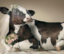 Vaca Vestida de Novia