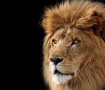 Wallpaper León, el rey de la selva