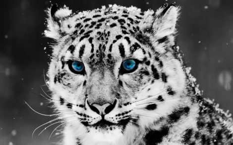 Wallpaper Tigre Blanco