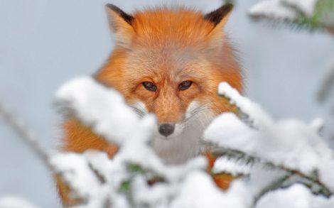 Zorro Salvaje en la nieve